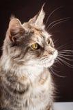 Γάτα του Μαίην coon στο μαύρο καφετί υπόβαθρο Στοκ Φωτογραφίες