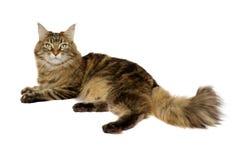 Γάτα του Μαίην coon Στοκ Φωτογραφίες