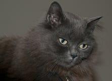 Γάτα του Μαίην coon Στοκ Εικόνες