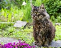 Γάτα του Μαίην Coon Στοκ εικόνα με δικαίωμα ελεύθερης χρήσης