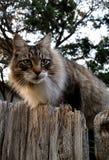 Γάτα του Μαίην Coon Στοκ Εικόνα