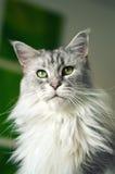 Γάτα του Μαίην Coon Στοκ Φωτογραφία