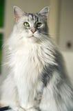 Γάτα του Μαίην Coon Στοκ φωτογραφία με δικαίωμα ελεύθερης χρήσης
