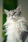 Γάτα του Μαίην Coon Στοκ εικόνες με δικαίωμα ελεύθερης χρήσης