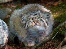 Γάτα του Παλλάς (Otocolobus manul) στοκ φωτογραφίες με δικαίωμα ελεύθερης χρήσης