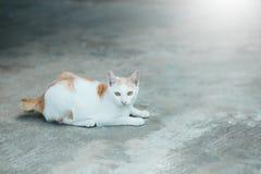 Γάτα του Σιάμ γατών στο πάτωμα τσιμέντου Γάτες που κάθονται στο πάτωμα τσιμέντου, άσπρη γάτα μια στο πάτωμα τσιμέντου, ταϊλανδικό Στοκ Εικόνα