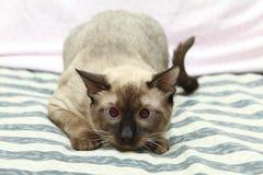 Γάτα του Σιάμ Στοκ εικόνα με δικαίωμα ελεύθερης χρήσης