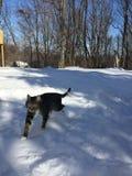Γάτα του Charlie που περπατά στο χιόνι Στοκ Εικόνες