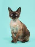 Γάτα του Devon rex με τα μπλε μάτια που δεν εξετάζουν τη κάμερα σε ένα μπλε υπόβαθρο μεντών Στοκ φωτογραφία με δικαίωμα ελεύθερης χρήσης