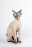 Γάτα του Devon rex στο άσπρο υπόβαθρο στοκ εικόνα με δικαίωμα ελεύθερης χρήσης