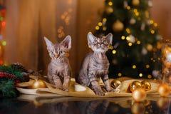 Γάτα του Devon Rex, Χριστούγεννα και νέο έτος στοκ εικόνα με δικαίωμα ελεύθερης χρήσης