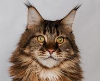 Γάτα του Maine κινηματογραφήσεων σε πρώτο πλάνο coon στοκ εικόνες με δικαίωμα ελεύθερης χρήσης