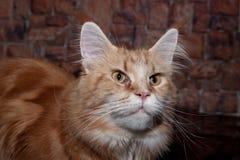 Γάτα του Maine πιπεροριζών coon με τα μεγάλα μάτια Στοκ Εικόνα