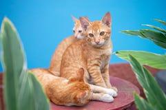 Γάτα τρία σε ένα μπλε υπόβαθρο στοκ εικόνες με δικαίωμα ελεύθερης χρήσης