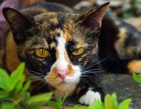 Γάτα τριών χρωμάτων Στοκ Φωτογραφία