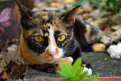 Γάτα τριών χρωμάτων Στοκ φωτογραφία με δικαίωμα ελεύθερης χρήσης