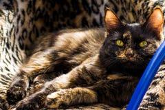 Γάτα τριών χρώματος Στοκ εικόνες με δικαίωμα ελεύθερης χρήσης