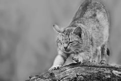 Γάτα τσίρκων γατών συνεδρίασης Στοκ Εικόνες