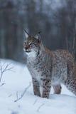 Γάτα λυγξ στη χιονώδη χειμερινή σκηνή, Νορβηγία Στοκ Εικόνες