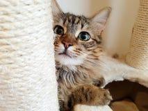 Γάτα λυγξ του Μαίην coon τιγρέ στοκ φωτογραφίες