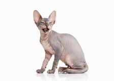 Γάτα Φορέστε sphynx το γατάκι στο άσπρο υπόβαθρο Στοκ Εικόνα