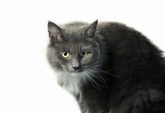 Γάτα φυλής Στοκ Φωτογραφία