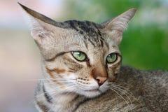 Γάτα χαριτωμένη, γατών προσώπου στενός επάνω γατών ματιών πορτρέτου όμορφος Στοκ φωτογραφία με δικαίωμα ελεύθερης χρήσης