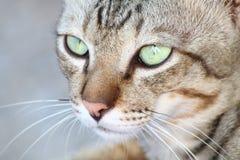 Γάτα χαριτωμένη, γατών προσώπου στενός επάνω γατών ματιών πορτρέτου όμορφος Στοκ εικόνα με δικαίωμα ελεύθερης χρήσης