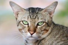 Γάτα χαριτωμένη, γατών προσώπου στενός επάνω γατών ματιών πορτρέτου όμορφος Στοκ Φωτογραφίες