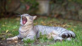Γάτα χασμουρητού στη χλόη Στοκ Εικόνες