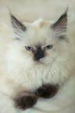 γάτα χνουδωτή Στοκ Εικόνες