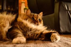 γάτα χνουδωτή Στοκ εικόνα με δικαίωμα ελεύθερης χρήσης