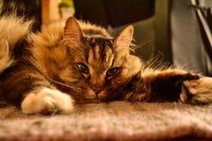 γάτα χνουδωτή Στοκ φωτογραφία με δικαίωμα ελεύθερης χρήσης