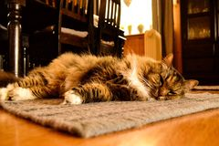 γάτα χνουδωτή Στοκ Φωτογραφία