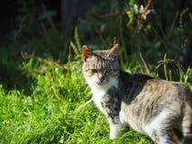 Γάτα χώρας Στοκ Εικόνα