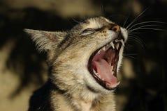 γάτα όπως τα τραγούδια Στοκ Εικόνες