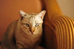 Γάτα όπως την τίγρη Στοκ Φωτογραφία