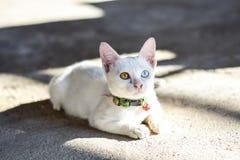 Γάτα δύο μάτια του χρώματος στοκ φωτογραφίες με δικαίωμα ελεύθερης χρήσης