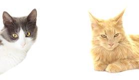 γάτα δύο Στοκ Φωτογραφίες