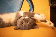 Γάτα ύπνου γατών στοκ εικόνες