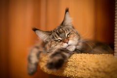 Γάτα ύπνου του Μαίην coon Στοκ εικόνες με δικαίωμα ελεύθερης χρήσης