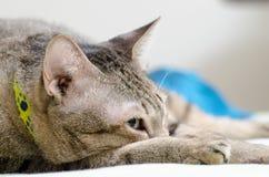 Γάτα ύπνου Στοκ φωτογραφία με δικαίωμα ελεύθερης χρήσης