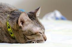 Γάτα ύπνου Στοκ εικόνα με δικαίωμα ελεύθερης χρήσης