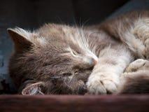 Γάτα ύπνου Στοκ Φωτογραφία