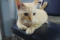 Γάτα ‹Jimmy†‹fat†Στοκ Φωτογραφία