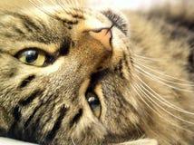 γάτα 01 Στοκ Εικόνες