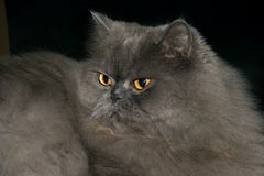 γάτα 04 περσική Στοκ Εικόνες