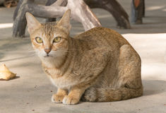 Γάτα Στοκ φωτογραφία με δικαίωμα ελεύθερης χρήσης