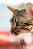 Γάτα Abyssinian Στοκ εικόνα με δικαίωμα ελεύθερης χρήσης