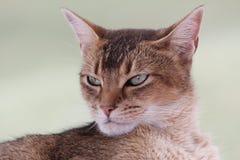 Γάτα Abyssinian Στοκ Φωτογραφία